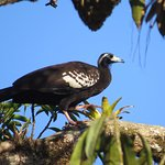 Pawi - Trinidad Piping Guan seen at Grand Riviere about 20mins away