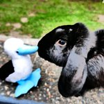Bluebie the Booby meets Brownie the Bunny