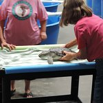Green Turtle getting a health check