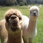 Residents - Anzac and Sydney the alpacas