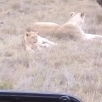 The lions we were watching was astonishing to be in the wild with them