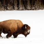 Bison in Yellowstone Country