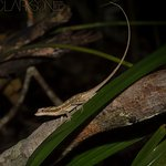 Ghost Anole on the grounds.