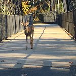 Deer in the CC Trail