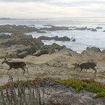 Deer on Asilomar Beach--ten minute easy walk from Deer Haven