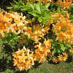 A spectacular orange rhododendrom