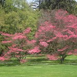 The vivid blooming Dogwood trees viewed from the house verandah picnic spot