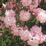 Pretty pink bunches of rhododendroms