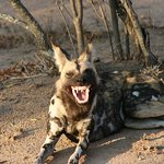 African Wild Dog - was he laughing at us?