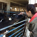 Patting the cow~!