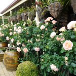 Peach Profusion roses absolutely beautiful