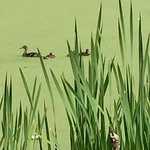 cattails and ducks