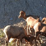 Big horn sheep on the Bow Valley Parkway