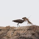 Hammerkop collecting nest material (the nest was next to our room)