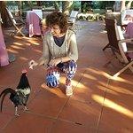 El gallo al que dimos ensaimada en nuestro primer desayuno en el hotel.A la mañana siguiente cua