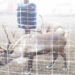 Beautiful Reindeer at the nearby petting area