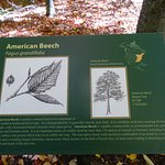 Another Sign To Help Identify American Beech