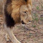 Lion walking next to land cruiser, boy he was close!