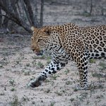 Leopard after Jacque repositioned the vehicle