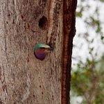 African bee catcher in tree