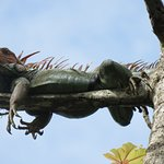 Iguana hanging out by the pool. All pics are taken with our camera on/or from Jungle Creek
