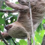 2 Toed Sloth, All pics are taken with our camera on/or from Jungle Creek