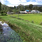 Homestay on the water lily pond and next to green paddy fields