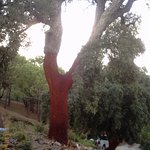 beautiful cork tree