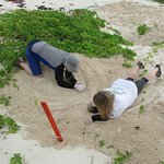 digging up a green sea turtle nest