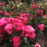 Wonderful roses to enjoy