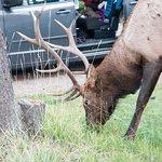 Elk in a campsite