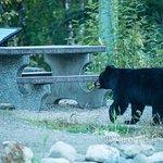 Bear in the bike park