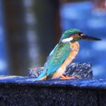 Denizkizi Kingfisher, snapped by Ron Hodgson October 2016