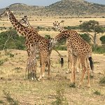Giraffes on the Mara
