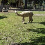 visiting the alpacas