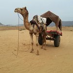 Camel ride in a cart