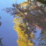 池に映る銀杏