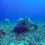 Echte Karettschildkröte (hawksbill turtle) = Foto von Scuba Caribe