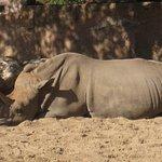 Couple de rhino