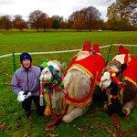 Joseph' Camels.
