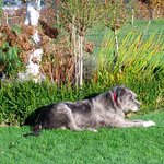 the irish wolfhound pet