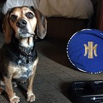 Spike the Beagle enjoying his Heathman Food dish