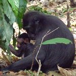Tangkoko Nature Reserve - our wildlife safari to observe endemic animals like the Black Macaque