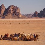 Camels waiting for riders just outside the gate