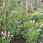 Spring tulips in the gardens at Simply Dunn