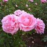 """aus dem traumhaften nahegelegenen Park hier eine der unzähligen Rosen - """"Floribundarose Crescend"""