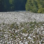 Fields of cotton from the parkway