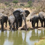 Families of elephants at the pool.