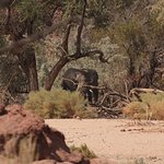 Ugab River - desert elephants seen at C35 (2)