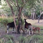 Entrance to Kidani, Okapis eating by the pool, view from our balcony (room 7439)